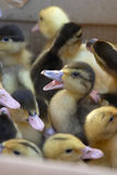 Baby Ducks. Little baby ducks in a box for sale on a animal market royalty free stock photography