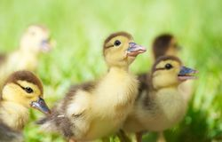 Baby ducks. Royalty Free Stock Images