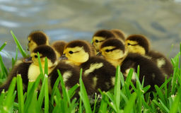 Free Baby Ducks Royalty Free Stock Photos - 2471378