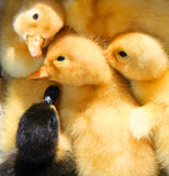 Baby ducks Stock Photo
