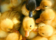 Baby Ducks Stock Image