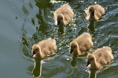 Baby Ducks. Five swiming baby ducks on pond stock photo