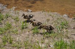 Baby ducks. Nature, pond, swamp stock photography