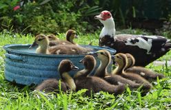 Baby ducks bathe while mamma looks on Royalty Free Stock Image