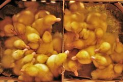 Baby ducks in a box. One day old baby ducks in a cardboard box ready for delivery royalty free stock photography