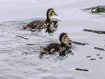Baby Ducks. Close up detail of young Mallard ducklings swimming Royalty Free Stock Photos
