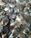 Baby ducks Royalty Free Stock Photos