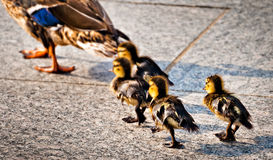 Baby ducks following their mother at the National World War II M. Emorial in Washington, DC royalty free stock photos