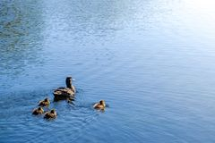 Baby ducks follows their mother into the distance. Four baby ducks follows their mother into the distance on a clear blue lake royalty free stock photos
