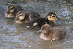Baby Ducks. Here are 4 really cute baby ducks taking a swim Royalty Free Stock Image