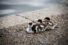 Baby ducks in Hyde Park London England. A picture of baby ducks in Hyde Park London England in the summer royalty free stock image