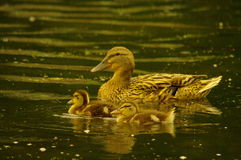 Baby Ducks and mother. Royalty Free Stock Image