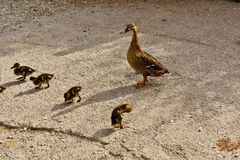 Baby ducks with mum Royalty Free Stock Images