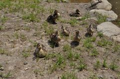 Baby ducks in. Baby ducks, nature, pond, swamp royalty free stock photos