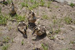 Baby ducks. Nature, pond, swamp royalty free stock photo