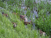 Baby Ducks near a Grassy Bank Royalty Free Stock Image