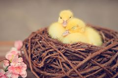Baby ducks in nest royalty free stock photography