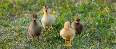 Baby Ducks. Outside walking through the grass stock photography