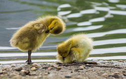 Baby ducks. Picture taken by the Lincoln Park zoo Chicago Stock Photos