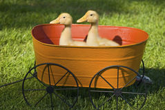 Baby Ducks in Planter Stock Photography
