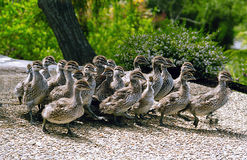 Baby ducks on the run. Royalty Free Stock Images