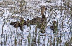 Baby Ducks Royalty Free Stock Image
