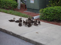 Baby Ducks. On a sidewalk in a parking lot in Fort Myers, Florida royalty free stock photo