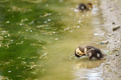 Baby ducks signal the spring. Baby mallard duck preening on the edge of a pond Stock Photo