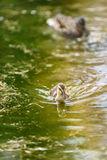 Baby ducks signal the spring. Baby mallard duck swimming in a green pond, with mother duck in the background Stock Photography