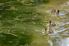 Baby ducks signal the spring Stock Images