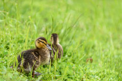 Baby ducks signal the spring Stock Image