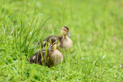 Baby ducks signal the spring Stock Photos