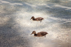 Baby ducks on a small rocky beach in Eibsee, Germany. Stock Images