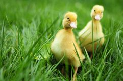 Baby ducks in spring grass. One day old baby ducks in spring grass stock photo