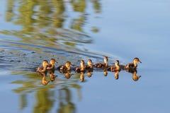 Baby Ducks Swimming Stock Images