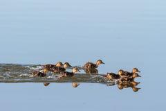 Baby Ducks Swimming Stock Photo