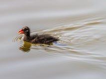 Baby ducks swimming Royalty Free Stock Photos