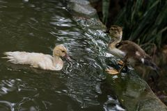 Baby Ducks Swimming. Young beautiful ducks Swimming in a pond Stock Photo