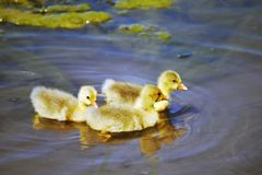 Baby ducks. Three baby yellow ducks swimming in a pond stock photography