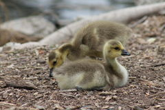 Baby ducks Royalty Free Stock Photo