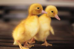 Baby ducks. Two baby ducks on a wooden table royalty free stock photo
