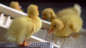 Baby Ducks in Water. Cute baby ducks swimming in fresh clean water stock photos