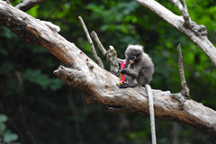 Baby dusky leaf monkey eating fruit on the tree. Baby dusky leaf monkey, Spectacled Langur in Thailand Royalty Free Stock Images