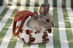 Baby dwarf rabbit Royalty Free Stock Images