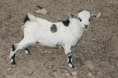 Baby dwarf tibetan goat. Profile of baby dwarf tibetan goat Royalty Free Stock Photo