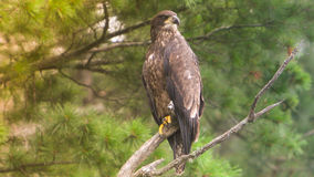 Baby Eagle. Baby Bald eagle eying up a dragonfly for a snack Royalty Free Stock Image