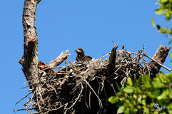 Baby eagle in the nest Royalty Free Stock Images