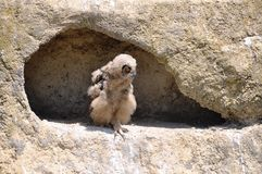 Baby eagle-owl. On the edge of a nest in a large rock. Genus: bubo stock photo