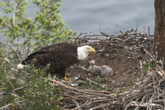 Baby Eagles. Two baby eagles and one of their parents in a nest on Galiano Island, British Columbia, Canada; with water in the background Stock Photo