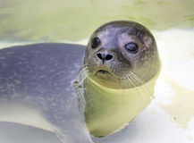 Baby earless seal. Closeup of baby earless sea in water Royalty Free Stock Photos